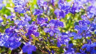 Lobelia Nedir ve Nasıl Kullanılır?