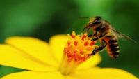 Arı Sokması Kaşıntı ve Şişlik için Doğal Tedaviler