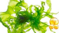 Vejetaryen Omega-3 Kaynağı -Alg Yağı-