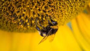 propolisi arılar yapar