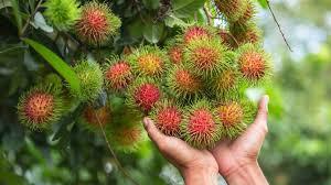 rambutan meyvesi faydaları