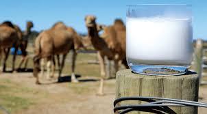deve sütü özellikleri