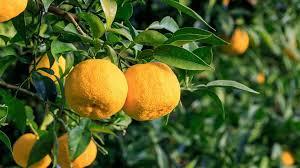 yuzu meyvesi faydaları